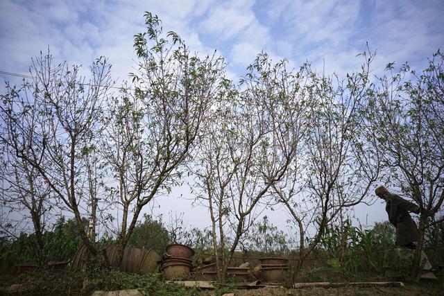 Những cây đào đã bắt đầu ra nụ hồng chúm chím tại khu vườn Nhật Tân