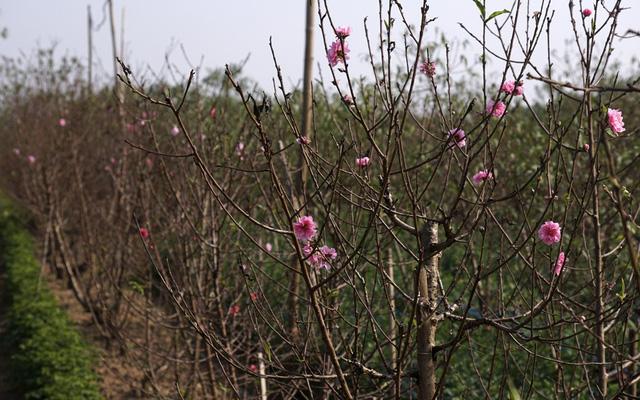Một chủ nhân cho biết gia đình mình cũng có đất trồng đào ngoài đồng, nhưng bây giờ đã hết, chỉ còn 1600m2 ở Nhật Tân