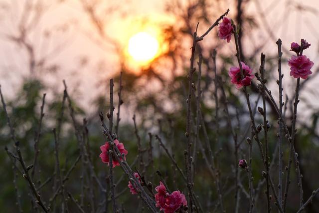 Những bông hoa đào bích nở đỏ rực dưới ánh mặt trời.