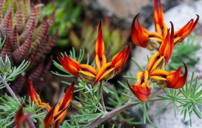 Hoa mỏ vẹt đã được phân loại vào nhóm hoa cực hiếm từ năm 1884.