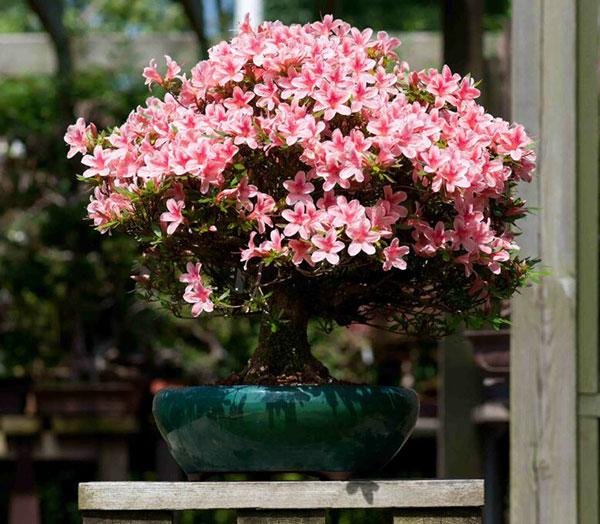 Cây cảnh tết - Loại hoa đặc biệt đỗ quyên truyền thống
