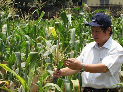 Phục tráng những giống ngô quý tại Việt Nam-hình 3